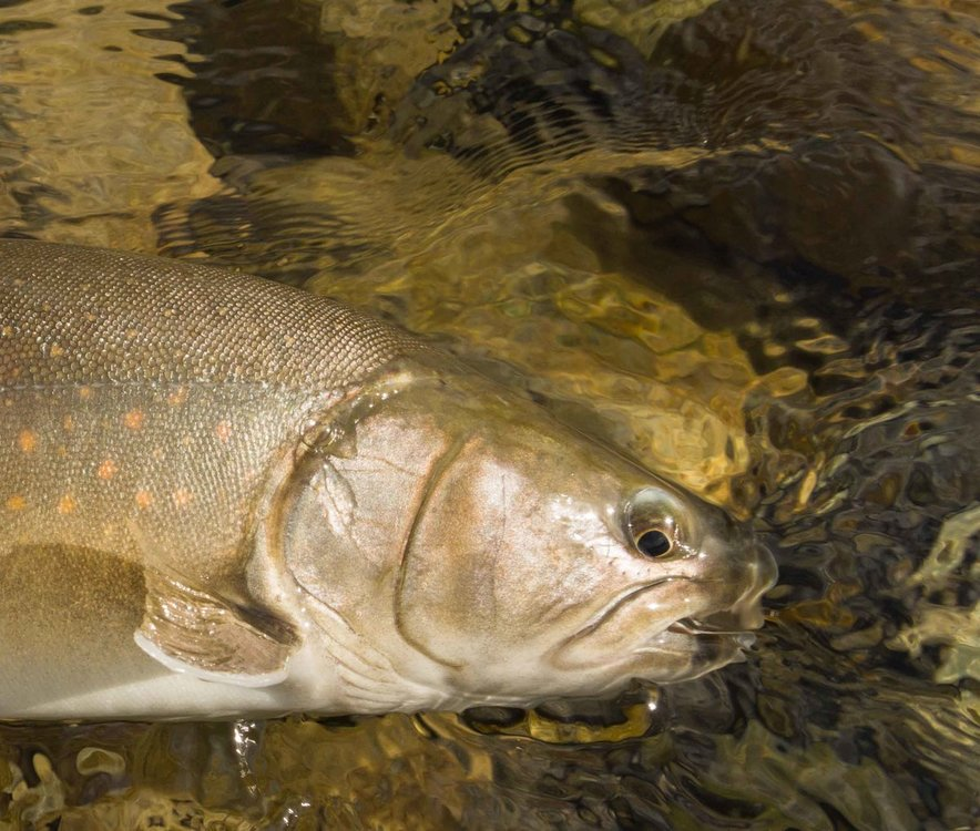 athabasca bull trout.jpg
